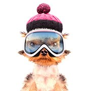 Dog skier.jpg